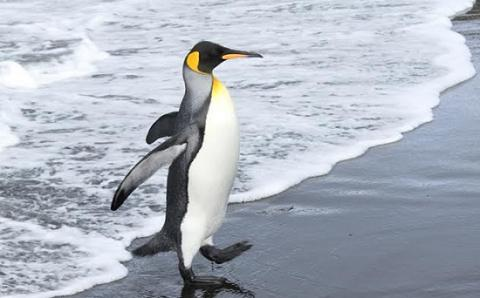 Penguins on a treadmill: study shows fat ones fall over more often than slim ones