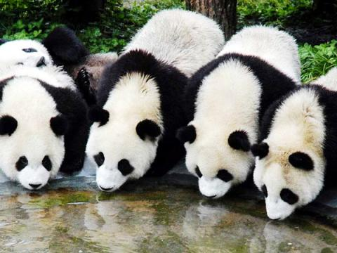 Giant pandas get official welcome in new South Korean home