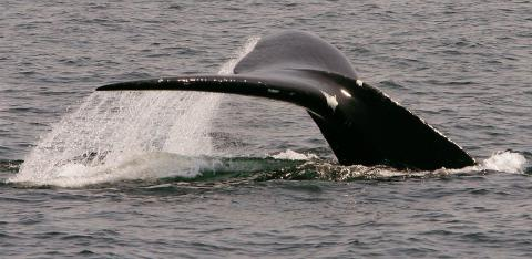 Extremely rare whales make big showing in Cape Cod Bay