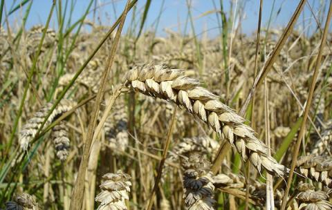 Gross grain harvest could reach 56.8 mln tonnes - UCAB projections
