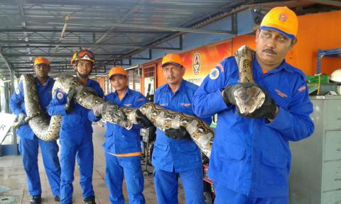 World's longest snake caught in Malaysia (VIDEO)