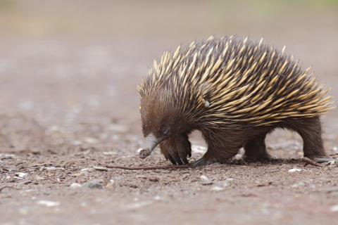 Echidnas are too cool to be bothered by fires