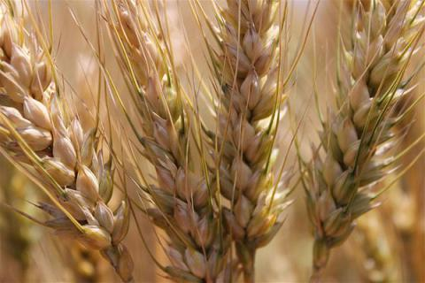 Ukraine is largest exporter of wheat to EU – official