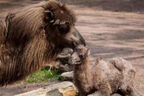 Chicago zoo's baby camel became social media star