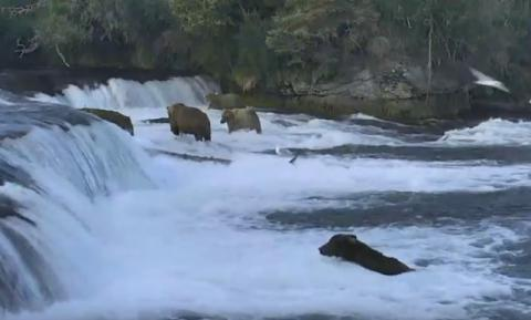 Bears catching salmon in Katmai National Park, Alaska (STREAMING VIDEO)