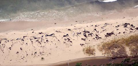 70 whales washed up on a beach in Chile