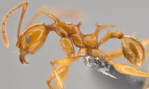 Two new ant species named after dragons from Game of Thrones (VIDEO)