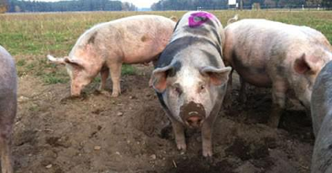 Another case of the swine fever recorded in Ukraine
