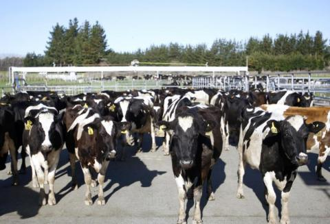 How to steal 500 cows? New Zealand police investigating ridiculous crime