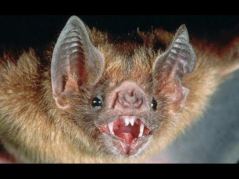 Are Bats Really Blind?