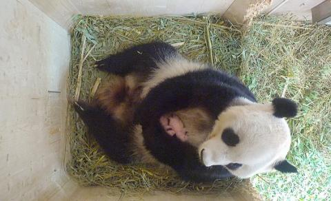 Twin baby pandas born at Vienna zoo are brother & sister
