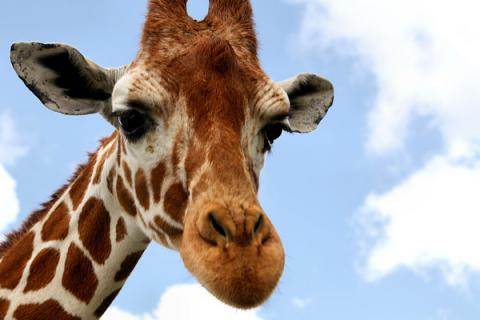 There are not just one but four distinct species of giraffe - Research