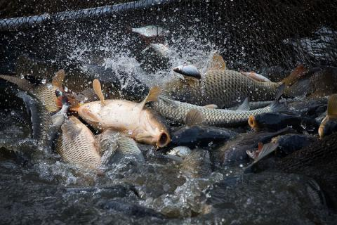 Importers will breed fish in Ukraine