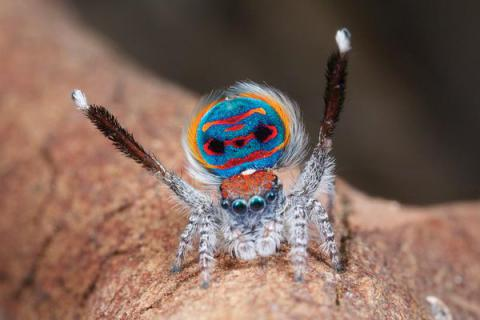 Peacock spider dances to lure in ladies... and amuse Star Wars fans (VIDEO)