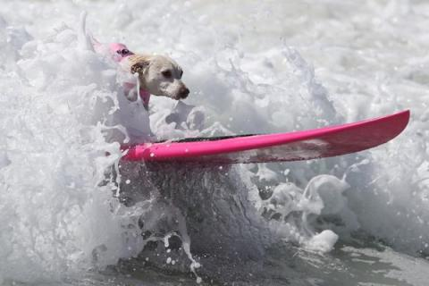 60 dogs chase waves at Surf City Surf Dog competition (VIDEO)