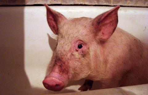 700 pigs to be killed in Ukraine's region of Poltavato stop ASF outbreak