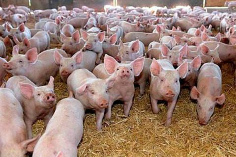 200 pigs to be killed in Ukrainian region of Mykolaiv over ASF