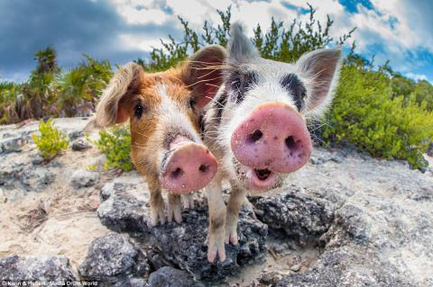 Some Pigs Are Optimists, Others Pessimists
