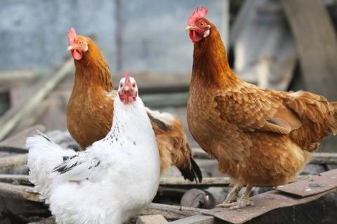 Iraq, China, Qatar, Yemen, Jordan suspend Ukrainian poultry import