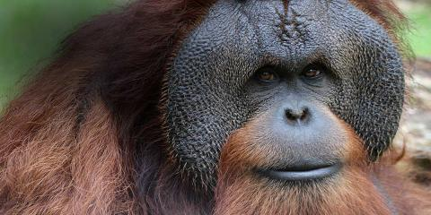 Like people, great apes may distinguish between true and false beliefs in others