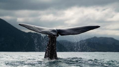Whale And Boat Collisions Happen More Commonly Than Thought: Study