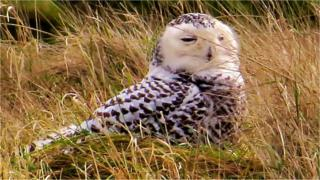 Norfolk snowy owl attracts Harry Potter fans and birdwatchers