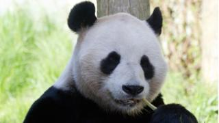 Giant panda breeding programme at Edinburgh Zoo suspended