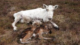 'Rare' birth of live reindeer twins in Cairngorms