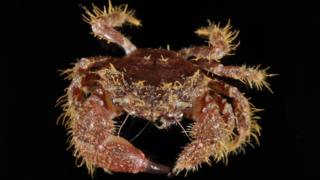 Is this hairy crab the newest species found in the UK?