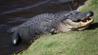 US woman missing after 'alligator attack'