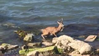 Deer drowns in failed rescue attempt at Southsea