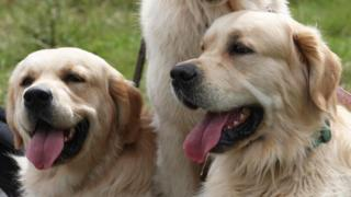 Mass gathering of golden retrievers
