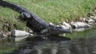 US dog walker killed in South Carolina alligator attack