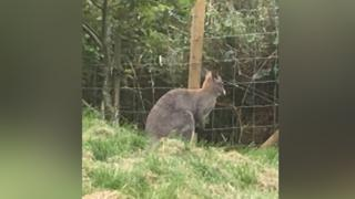 Wallaby on loose after Filey park escape