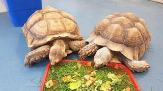Two of four stolen giant tortoises found in Dorset