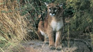 Hiker likely killed in Oregon's first fatal cougar attack