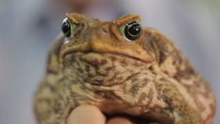 Cane toad DNA breakthrough