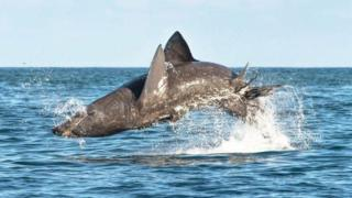 Basking sharks leap as high as great whites