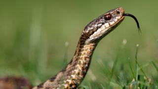 Adder extinction fear over