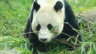 Edinburgh Zoo panda Yang Guang has testicles removed