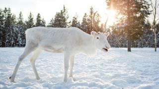 Rare but conspicuous: Your photos of white reindeer