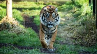 Tiger killed by new mate at London Zoo