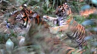 London Zoo 'was well aware' of tiger death risk