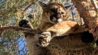 Mountain lion in California tree