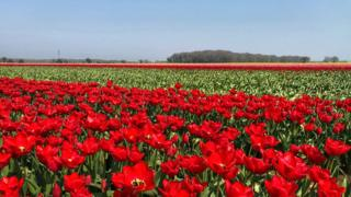'Biggest' UK tulip grower stockpiles bulbs over Brexit