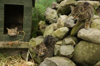 Rare wildcat kittens born at Highlands field centre