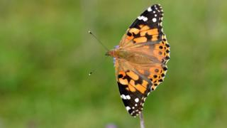 Painted lady butterfly influx needs people to count them