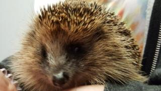 Blind hedgehog stolen in Leeds van theft
