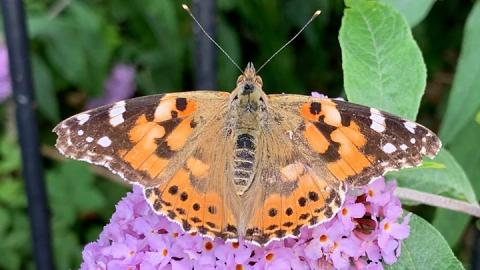 Big Butterfly Count: Fine weather boosts species in UK