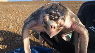 Rare olive ridley turtle found injured off Seaford beach
